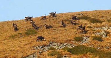 Alergătura caprelor negre