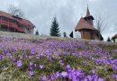 Mii de brândușe alcătuiesc un covor de flori  în munți